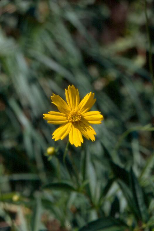 Coreopsis (Coreopsis pubescens)