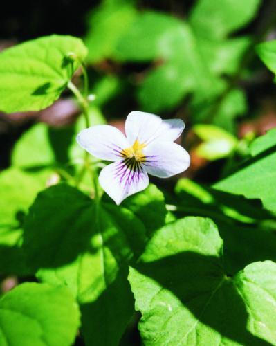 Round Leaf Violet