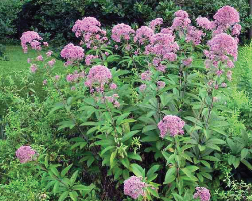 Purple Node Joe Pye Weed