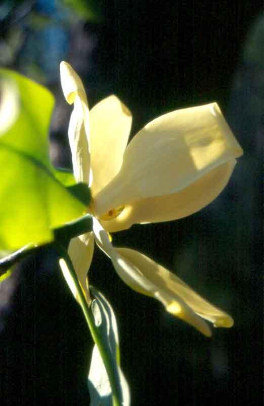 Fraser Magnolia (Magnolia fraseri)