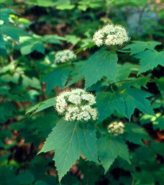 Viburnum Maple Leaf (Viburnum acerifloium)