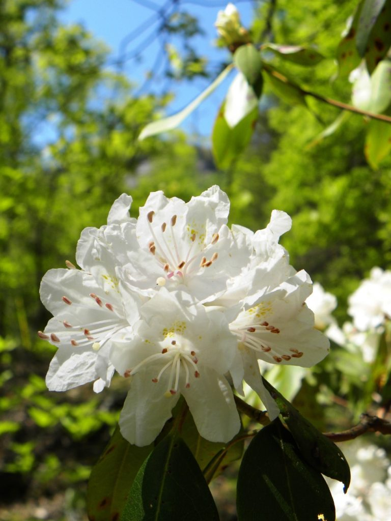 Carolina Rhododendron (Rhododendron carolinianum)