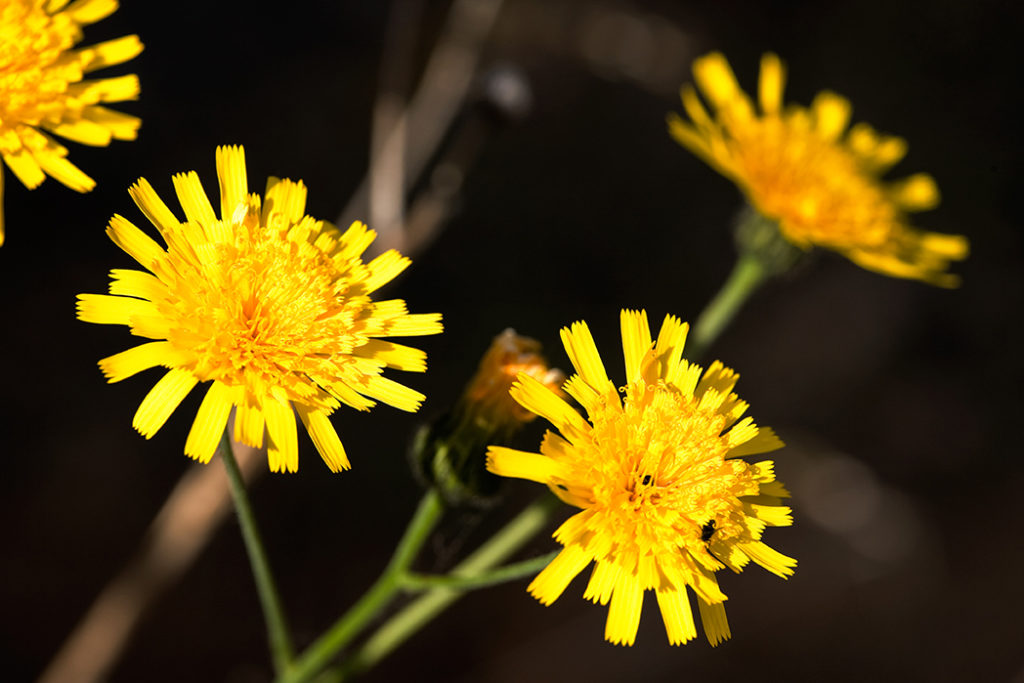Smooth Hawkweed