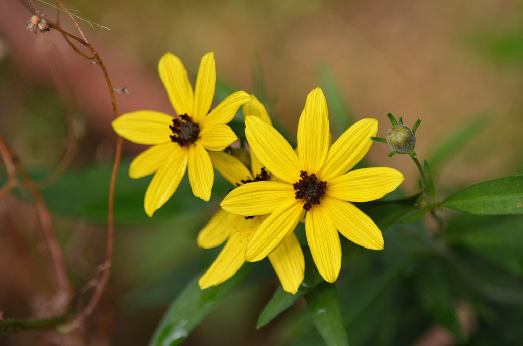 Tall Coreopsis