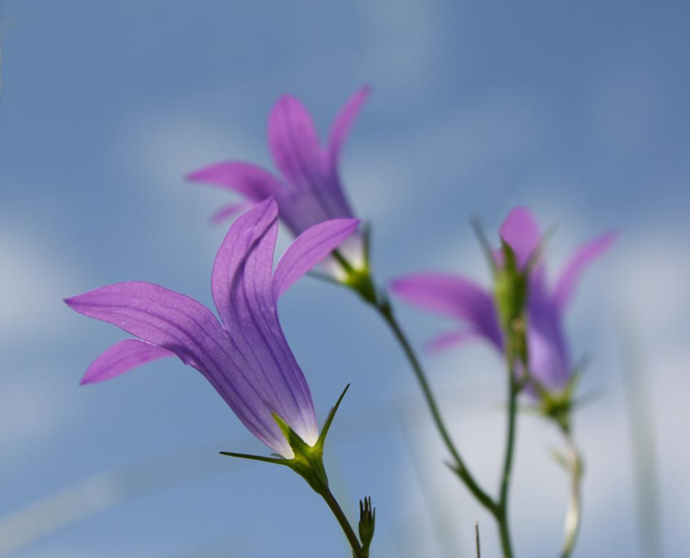 Appalachian Bellflower