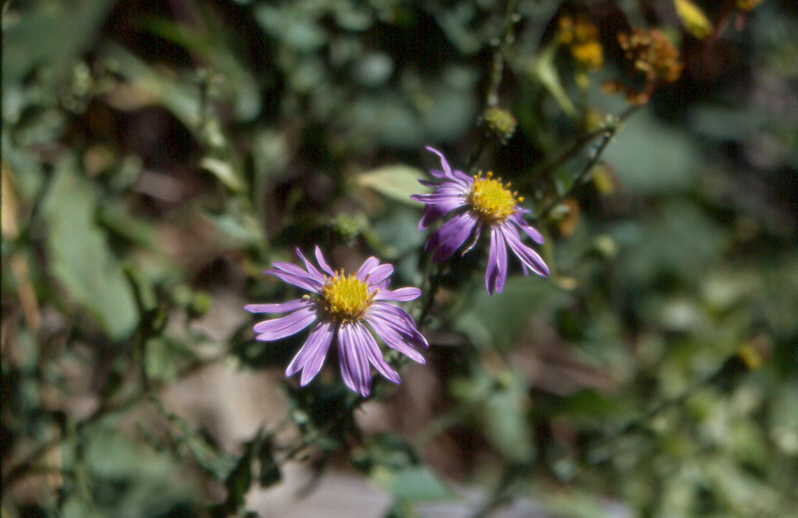 Late Purple Aster