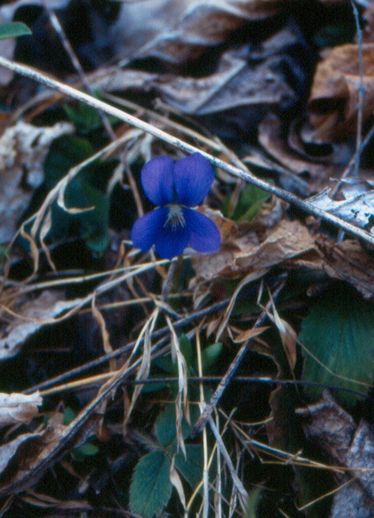 Common Violet (Viola papilionacea)