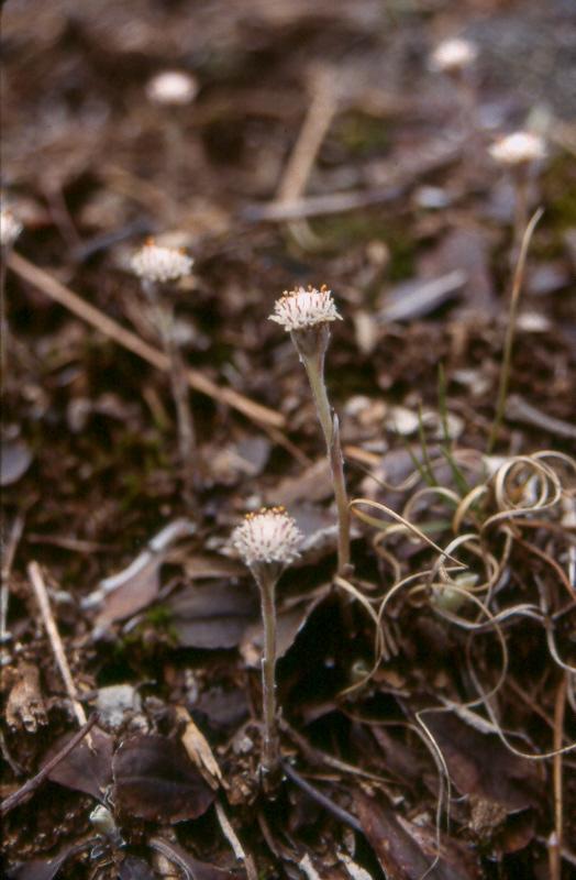 Pussytoes (Antennaria solitatia)