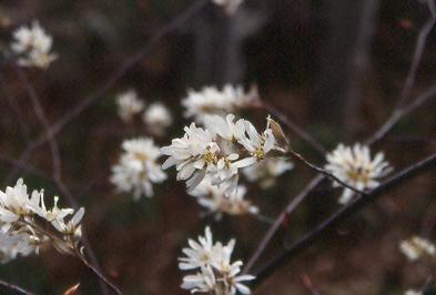 Serviceberry (Amelanchier sanguine)