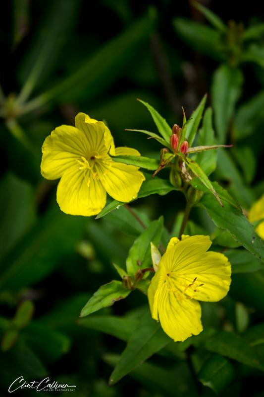 Sundrop (Oenothera tetragona)